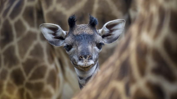 giraffe_baby_face_eyes_ears_85776_602x339