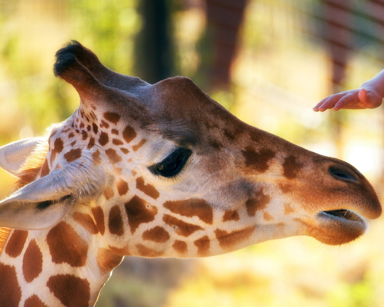 giraffe_head_face_mottled_hand_zoo_57822_1280x1024
