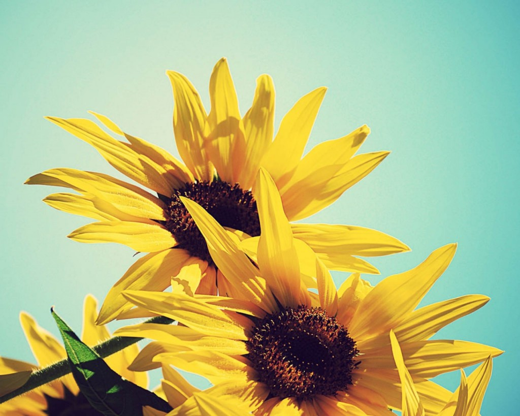 sunflowers_flowers_plants_flowering_89172_1280x1024