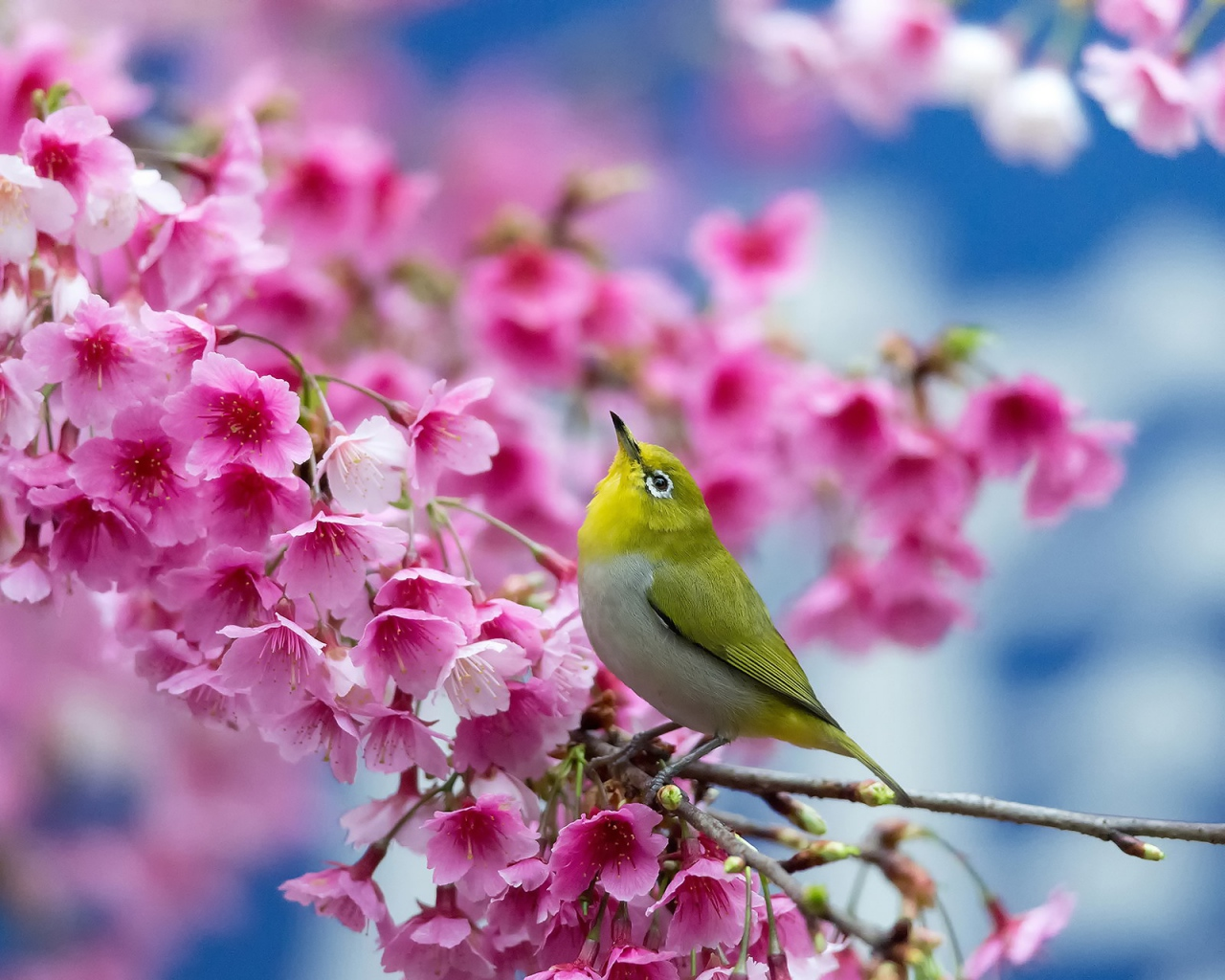spring_cherry_branch_flowers_beauty_japanese_white_eye_93704_1280x1024